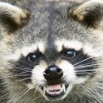 I like raccoons, but I do not like looking like one…